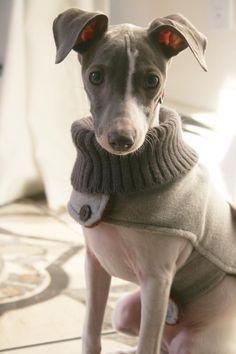 Resultado de imagem para roupas de cachorro whippet