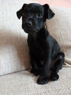 puppy Bessy - patterdale terrier