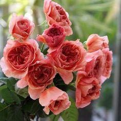 """本日の薔薇""""  ^^  かおりかざり[Kaorikazari] 日本 Rose Farm keiji 作 2012年   「香り」を飾る。すこし顔を近づけるだけで漂うパッションフル-ツの香り。花は緻密に重なるロゼット模様の暖かなアプリコットオレンジ、のち淡いコ-ラルピンク色に変わってエレガントな花姿となります。房咲きとなる花つきが良いタイプで細枝にも蕾をつけます。樹勢はやや横張り性、伸びすぎずコンパクトにまとまるため、鉢植えでの栽培にも適しています。  花径:8~10cm 樹高:1.0m 花季:四季咲き その他:香⇒ゆたかな香り  ※京阪園芸ガーデナーズのF&Gロ-ズのバラはこちらから→ http://www.keihan-engei-gardeners.com/fs/keihangn/c/f-grose"""