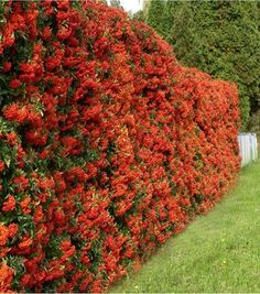 Pyracantha is a genus of thorny evergreen large shrubs in the family Rosaceae, with common names firethorn or pyracantha. Garden Hedges, Garden Fencing, Garden Plants, Hedging Plants, Bamboo Plants, Privacy Landscaping, Garden Landscaping, Hedges For Privacy, Planting For Privacy