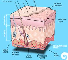 1000 Images About Beauty Level 2 On Pinterest Your Skin Wax And Layers Of The Epidermis