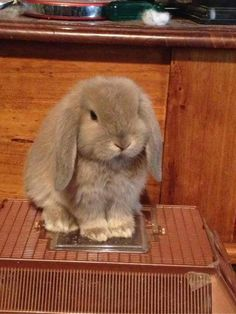 I want a bunny just like this little fellow! Cute Baby Bunnies, Funny Bunnies, Cute Babies, Pet Bunny Rabbits, Pet Rabbit, Baby Animals Pictures, Cute Animal Pictures, Cute Little Animals, Cute Funny Animals
