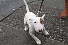 White #bull #terrier #puppy