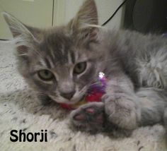 Hi! Shoji here! So what do you think? They do say that 3s a charm. Look how charming we are :)! But seriously, we are okay to split up if you have a young kitty for us to play with at your house. We just know at first it might get a little lonely! We all are quiet and well behaved and waiting for just the right home!  If you are interested in adopting these cats or any other one listed here please call 877-307-2747 or email adopt@whis-purr.org