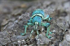14043.  Blue green snout weevil (Eupholus schoenherri), Papua New Guinea - Jim Zuckerman Photography