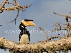 Male Malabar Pied Hornbill on a tree.