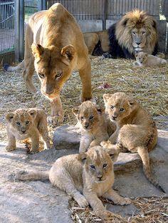 Lion family at the al Maglio zoo in Magliaso, Switzerland