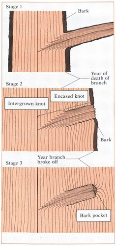 "Illustration of Bark Pockets, Ingrown Knot and ""Crotch Figure"""