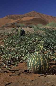 Sustainability - Foraging can turn up some great fruit. Tsamma melons, cousin to the domesticated watermelon, grow wild in the Kalahari - and it was said by Mark Twain are proof that angels eat.