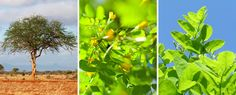 Acacia is a member of the Fabaceae family.For the ancient Hebrews, Acacia was a sacred wood. It is said that Christ's crown was made of a thorny species of Acacia.