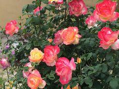 """"""" AS MINHAS FLORES"""": Mais rosas"""