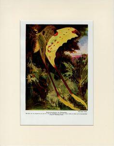Rare Madagascar Butterfly Print C. 1900 by AntiquePrintBoutique