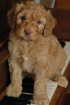 Toy Breeds Non Shedding – Wow Blog