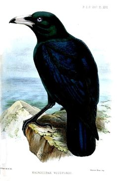 The White-billed crow (Corvus woodfordi) is a member of the Crow family found on the Solomon Islands.