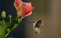 Hummingbird feeding on flower nectar Hd Wallpapers For Pc, Free Desktop Wallpaper, Animal Wallpaper, Wallpaper Downloads, Backgrounds Free, Meeting New People, Flowers, Animals, Hummingbirds