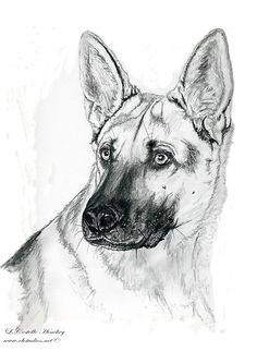 Great for a gift!!!! Commissioned drawing of a young German Shepherd done in pencil graphite by artist, L. Costello Hinchey of www.chstudios.net