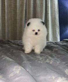 Petra ( $570 ) – ADORABLE PUPPIES FOR HOME Best Small Family Dogs, Adorable Puppies, Teacup Puppies, Maltipoo, Puppies For Sale, Petra, Animals, Maltipoo Dog, Animales