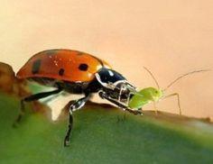 combattere afidi su fragole (e formiche)
