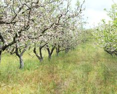 Fine Art Photograph of an apple orchard in spring full of blossoms.  TITLE ~ Apple orchard FORMAT ~ horizontal SIZES ~ 8x10 - 11x14 - 16x20  ✽ Other