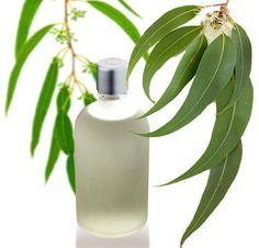 Come fare l'olio di eucalipto. Le foglie di eucalipto sono altamente benefiche per la nostra salute grazie alle loro proprietà antisettiche e astringenti che ci proteggono contro le...