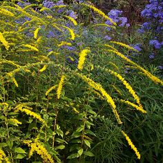 solidago fireworks - Google Search