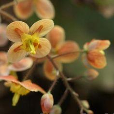 Epimedium x 'Orange Queen' - Deer-resistant Perennials - Perennials - Avant Gardens Nursery & Design