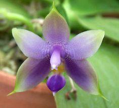 Phalaenopsis Violacea | Phalaenopsis violacea var. coerulea - Großräschener Orchideen