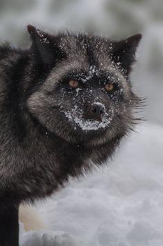 Silver Fox by beabss