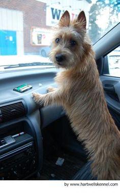 Fotos del Australian Terrier