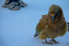 """The Kea is a large species of parrot  found in forested and alpine regions of the South Island of New Zealand. Described by the locals as """"cheeky birds"""" they are fascinated by human activity and love to rip apart backpacks, shoes, clothing, food, and anything else they can get their beaks on. Known for their intelligence and curiosity, they will most certainly pay you a visit if your hiking or skinning around NZ."""