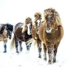 Snow ponies.                                                                                                                                                                                 More