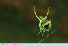 Diva Mantis!