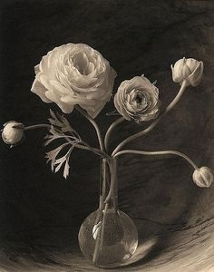 James Ware Pitts: Flowers  Five Ranunculus Flowers and Buds   Platinum/Palladium Print