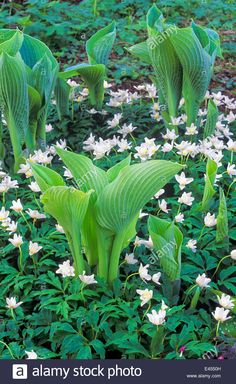 Hosta 'Frances Williams' Funkia with Anemone nemrosa 'Flore Pleno Windflower. Perennials May. New Hostas leaves emerging. Stock Photo