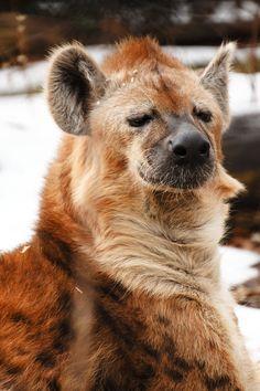 Hyena Seneca Park Zoo by johnbreedyjr