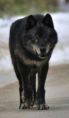 Wolves...getting ready to run with the pack for the full moon