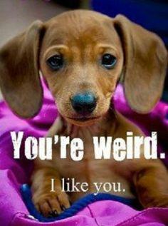 dachshund puppy. weird love!
