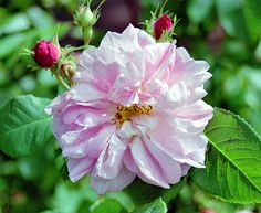 Celsiana, Rosa damascena-hybrid by Peter Karlsson, via Flickr