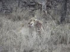 www.sunsafaris.com recent sightings of the #ross #pride #africa #on #foot #klaserie #game #drive #safari #kruger #wildlife #lion  Copyright: images taken by Zeena Ponto