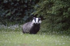 Today, Beauty in Everything put together a collection for you of 23 beautiful photographs of badgers in the wild.