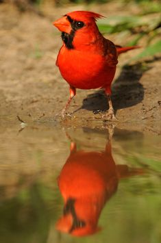 Cardinal -South Texas  laurieexcell-000855