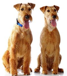 Irish Terrier - This loyal and spirited dog is full of terrier attitude and spunk. Terrier Dog Breeds, Airedale Terrier, Terrier Dogs, Terriers, Dog Photos, Dog Pictures, Scottish Deerhound, Irish Terrier, Companion Dog