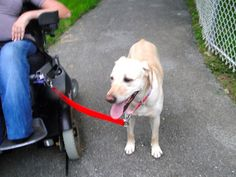 The Partner Link is an adjustable service dog leash that connects directly to a wheelchair. The leash adjusts from a short 16 working lead to a longer 32 lead for break…