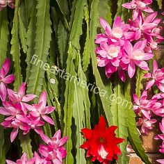 Christmas Cactus Photograph by Steven Ralser