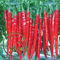150 pcs rare very hot pepper seeds red long chili chilli seeds vegetables and fruit seeds for home diy garden planting Chilli Seeds, Pepper Seeds, Planting Vegetables, Fruits And Vegetables, Veggies, Vegetable Plants For Sale, Long Hot Peppers, Plantas Bonsai, Spicy Chili