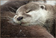 Otters are one of my favorites Cute Kawaii Animals, Super Cute Animals, Cute Funny Animals, Otters Cute, Baby Otters, River Otter, Sea Otter, Baby Animals, Baby Giraffes