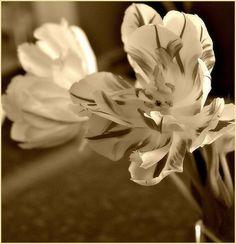 Tulip in Sepia