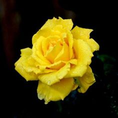 Most rose colors convey passion and romantic love,Yellow roses stand alone in their message of appreciation and devotion.