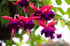 Pink and purple fuchsia flowers in bloom