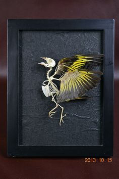 Real Bird  Skeleton Open Wing Mounted On Frame006 by missing1981, $50.00
